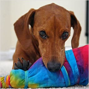 Dog chewing old towel