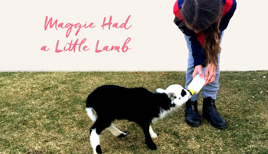 Maggie had a Little Lamb Featured Image: Maggie Feeding Baby Lamb with Bottle