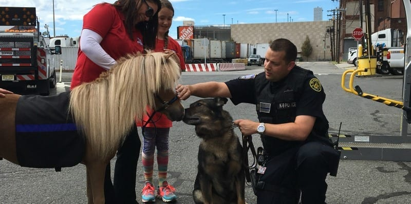 Mini Horse Meets Police K9 Unit