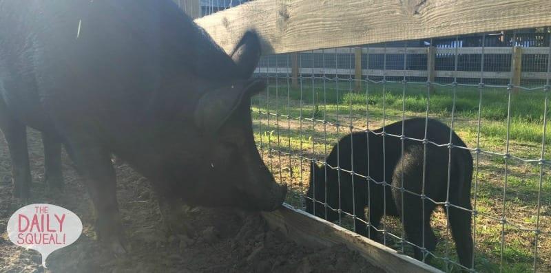 Mamma and babie pig