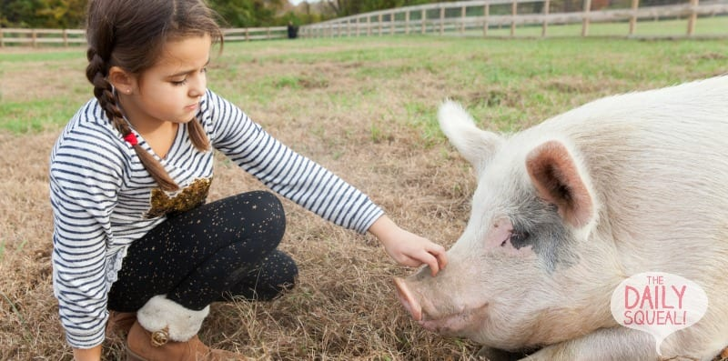 Touching pigs snout