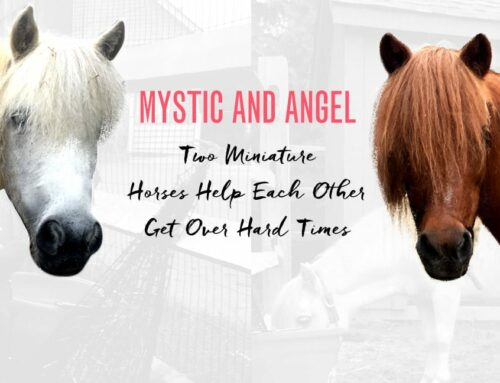 Mystic and Angel: Two Miniature Horses Help Each Other Get Over Hard Times