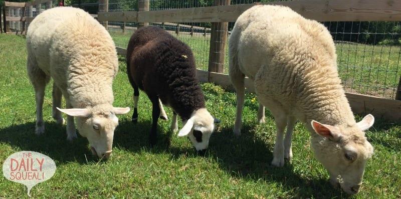 Multiple sheep grazing