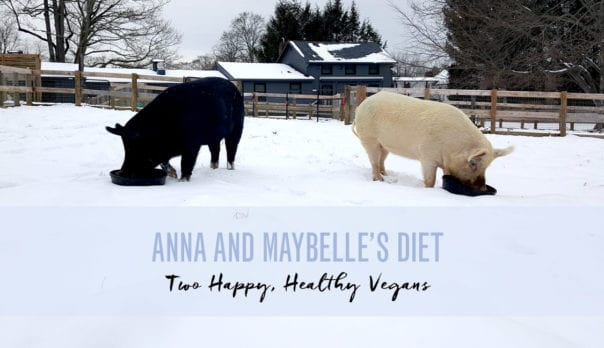 Anna and Maybelle's Diet Featured Image: Anna and Maybelle chowing down in snow covered pen
