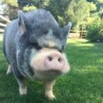 Puglsey Profile Thumbnail