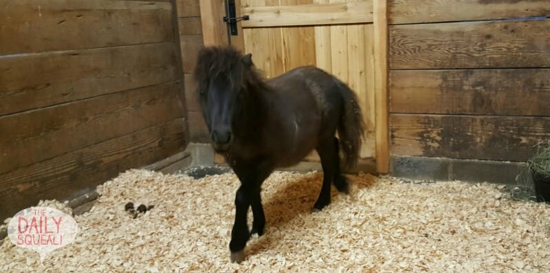 Mini horse Bean is a lot of personality in a tiny package.