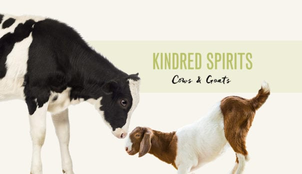 Kindred Spirits Featured Image Cow and Goat Looking at Each Other