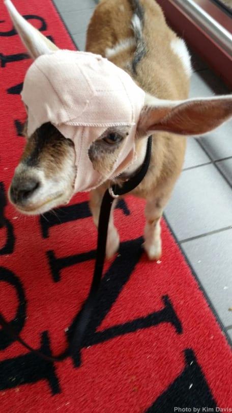Avery the goat bandaged