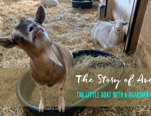 The Story of Avery: The Little Goat with a Guardian Angel