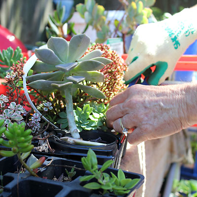 Selecting succulents from a tray