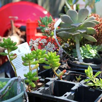 Succulents in plastic trays