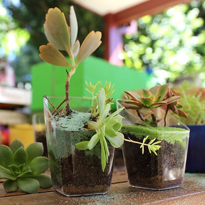 Succulents in containers with decorative sand