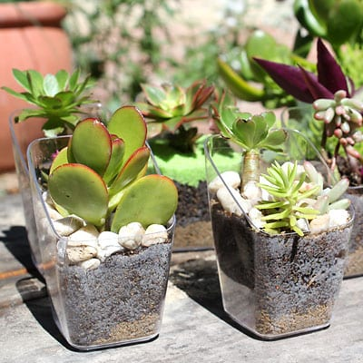 Succulents with decorative rocks surrounding them in reused plastic container