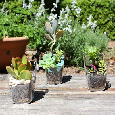 Finished succulents in reused plastic pots sitting in the sun