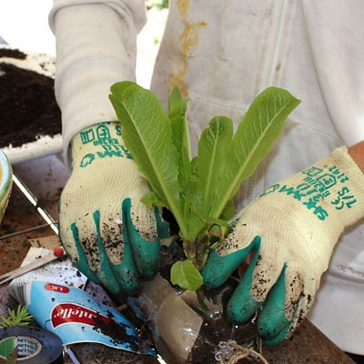 Transplanting a seedling into the soil in the bottle