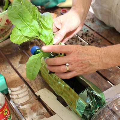 Transplanting another seedling into the soil in the bottle