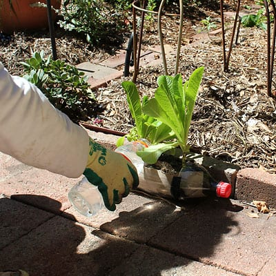 Watering seedlings in the bottle to check drainage