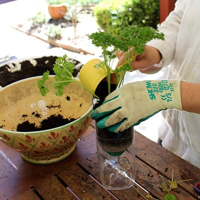 Transplanting seedling into bottle and covering with potting mix