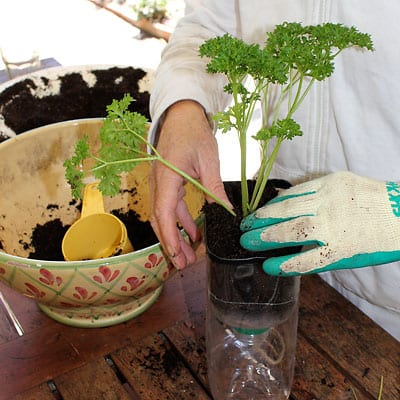 Finishing transplanting seedling into plastic container