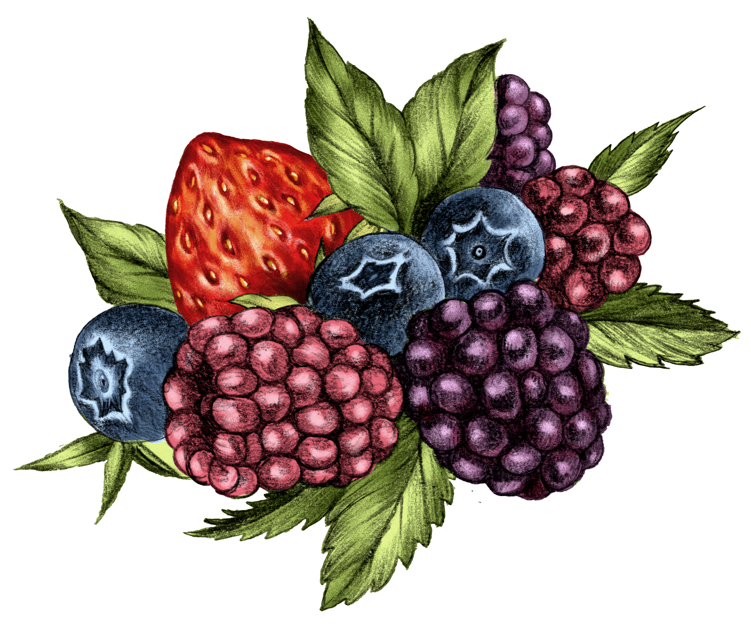 Berries Illustration