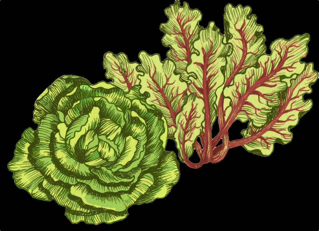 Lettuces Illustration
