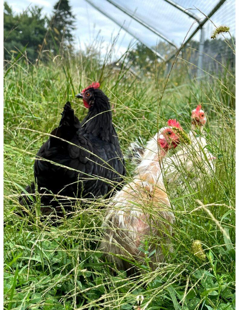 Chickens Wendy, Jane, & Annie